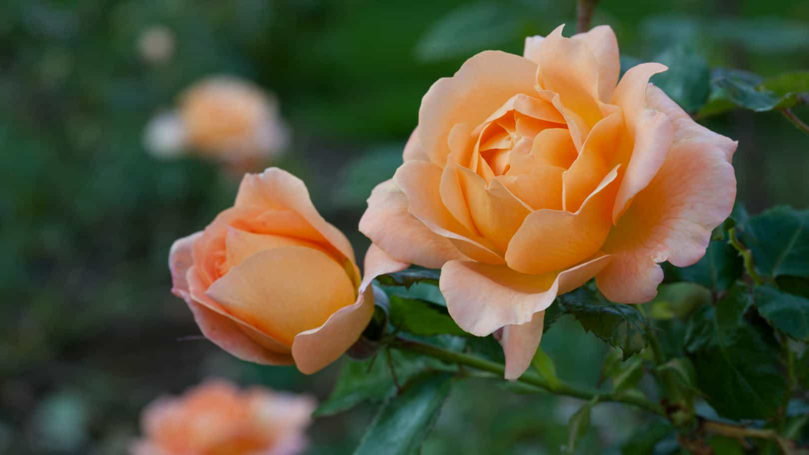 Spaldwick rose